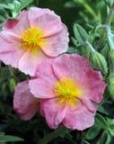 Helianthemum Wisley Pink. Common Names: Sunrose, Rockrose Royalty Free Stock Photos