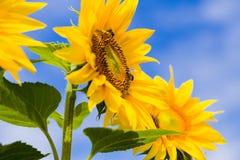 Helianthi Annui y abejas Imagenes de archivo