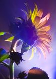 Helianthus Stock Photography