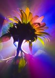 Helianthus Stock Images