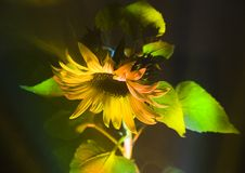 Helianthus Royalty Free Stock Photos