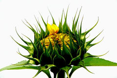 Helianthus Annuus Stock Photo