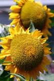 Helianthus annuus Photos stock
