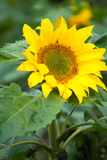 Helianthus annuus Royalty Free Stock Photo