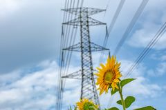 Helianthus annuus below the High voltage transmission towers. royalty free stock images