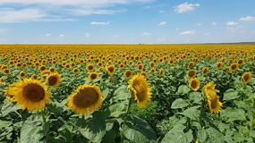 Sunflower heads turned by different sides on foreground of agricultural field with clouds above horizon. Helianthus blossoms. Helianthus annuus blossoms on stock photos