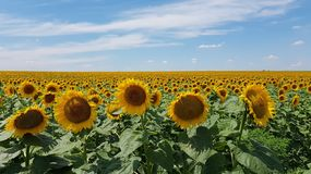 Circle flower heads of sunflowers on foreground of huge sunflower agricultural field with blue sky above horizon. stock image