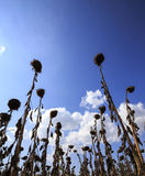 Helianthus Annuus Royalty Free Stock Images