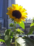 Helianthus annuus. Small size Helianthus annuus, sunflower stock photo
