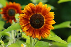 Free Helianthus Annuus - Sunflower Royalty Free Stock Images - 57454349
