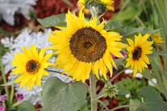 Helianthus annuus, Sunflower Royalty Free Stock Photography