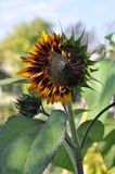 Helianthus annuus. Royalty Free Stock Image