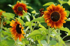 Helianthus annuus - sunflower Stock Images