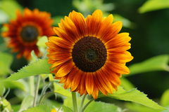 Helianthus annuus - sunflower Stock Image