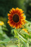 Helianthus annuus - sunflower Stock Photo