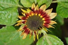 Helianthus annuus - sunflower Stock Photos