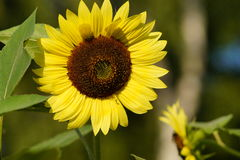 Helianthus annuus - sunflower Royalty Free Stock Images