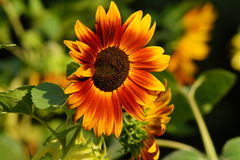 Helianthus annuus - sunflower Royalty Free Stock Image
