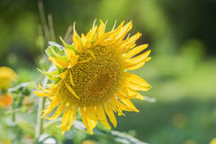 Helianthus annuus - sunflower - Seeds of ripen sunflowers Stock Photos