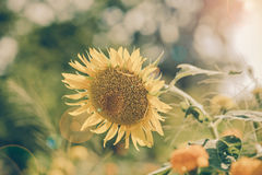 Helianthus annuus - sunflower - Seeds of ripen sunflowers, vinta Royalty Free Stock Photography