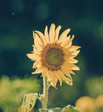 Helianthus annuus - sunflower - Seeds of ripen sunflowers, vinta Royalty Free Stock Photo