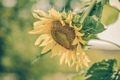Helianthus annuus - sunflower - Seeds of ripen sunflowers, vinta Stock Photo