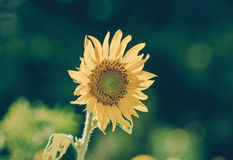 Helianthus annuus - sunflower - Seeds of ripen sunflowers, vinta Royalty Free Stock Photos