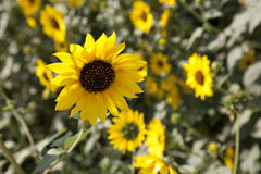 Helianthus annuus (tournesol) Photographie stock libre de droits