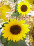 Helianthus annuus. Yellow sunflower in close up, cheerful and vibrant flower. Helianthus annuus. Yellow sunflower close-up, cheerful and vibrant flower, with Stock Image