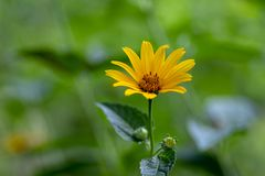 Helianthus decapetalus yellow flowering plant, ornamental garden flowers in bloom. Single flower royalty free stock photography