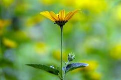 Helianthus decapetalus yellow flowering plant, ornamental garden flowers in bloom. Single flower stock photo