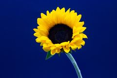 Helianthus, decorative sunflower flower on a dark background floral background royalty free stock images