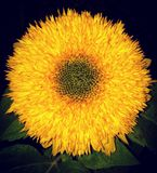 Helianthus do girassol de Teddy Bear Foto de Stock