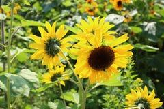 Helianthus flower field Royalty Free Stock Photo