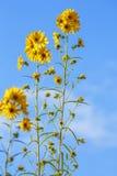 Helianthus Lemon Queen Flower Royalty Free Stock Images