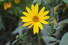 Helianthus maximil Royalty Free Stock Photos