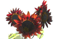 Helianthus or red sunflowers illustration isolated