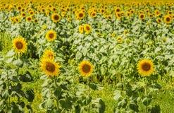 Helianthus (Sonnenblume) Stockfoto