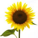 Helianthus (Sonnenblumen) Lizenzfreie Stockfotos