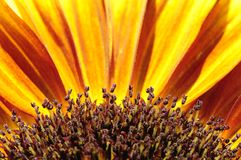 A colorful abstract, detailed view of a sunflower. royalty free stock photography