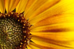 A detailed view of a sunflower. stock images
