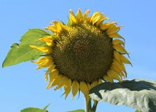 Helianthus Sunflowers Royalty Free Stock Image