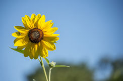 Helianthus or sunflowers Royalty Free Stock Photos