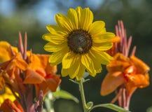 Helianthus or sunflowers Stock Image