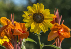 Helianthus or sunflowers Stock Images