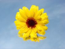 Helianthus or sunflowers Royalty Free Stock Image