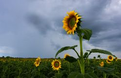 Helianthus or sunflowers stand tall, straight and proud royalty free stock photography