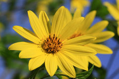 Helianthus x multiflorus 'Capenoch Star flower Royalty Free Stock Photo