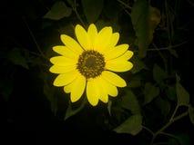 Helianthus of zonnebloemen Royalty-vrije Stock Foto