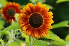 Helianthusannuus - zonnebloem Royalty-vrije Stock Afbeeldingen